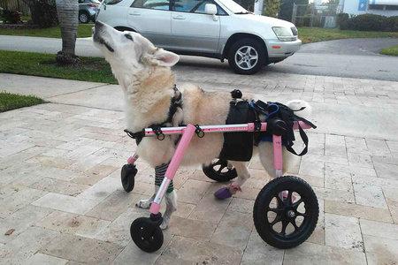 Perro discapacitado que estaba dentro del automóvil del propietario cuando fue robado encontrado muerto