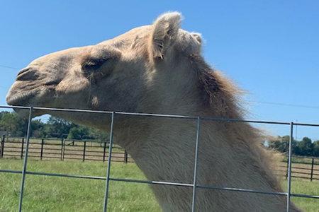 Жена от Флорида отхапа тестисите на камила, след като седна на нея, казват ченгета